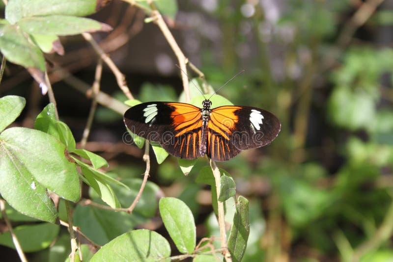 Mariposa anaranjada y blanca negra en el santo Louis Zoo fotografía de archivo