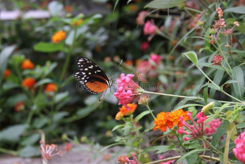 Mariposa anaranjada y blanca negra en el santo Louis Zoo imagenes de archivo