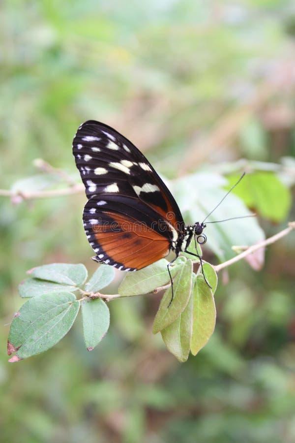 Mariposa anaranjada y blanca negra en el santo Louis Zoo imágenes de archivo libres de regalías