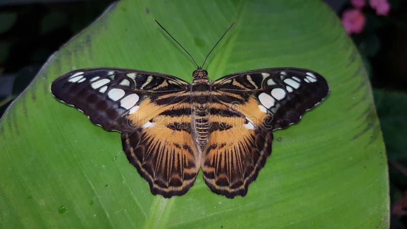 Mariposa anaranjada y negra imagen de archivo
