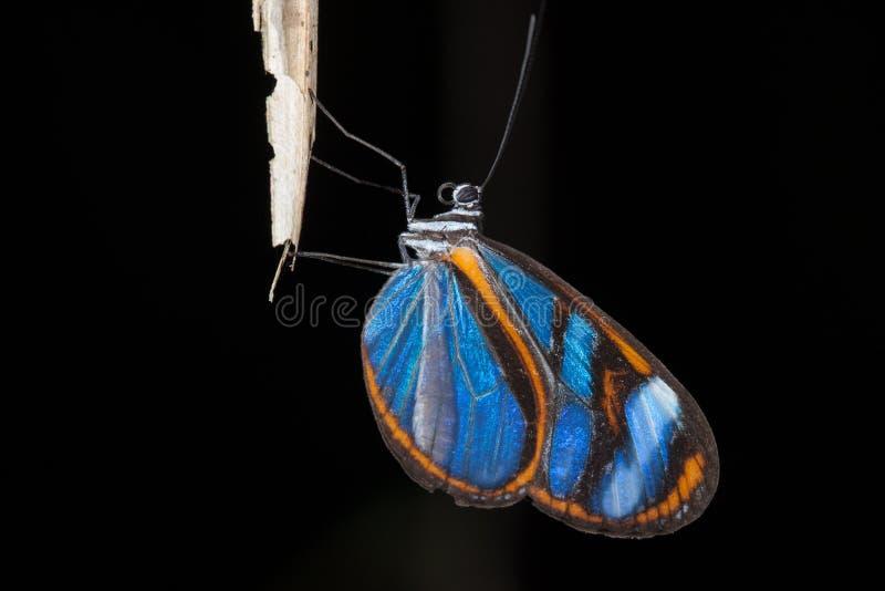 Mariposa azul -蓝色蝴蝶 免版税图库摄影