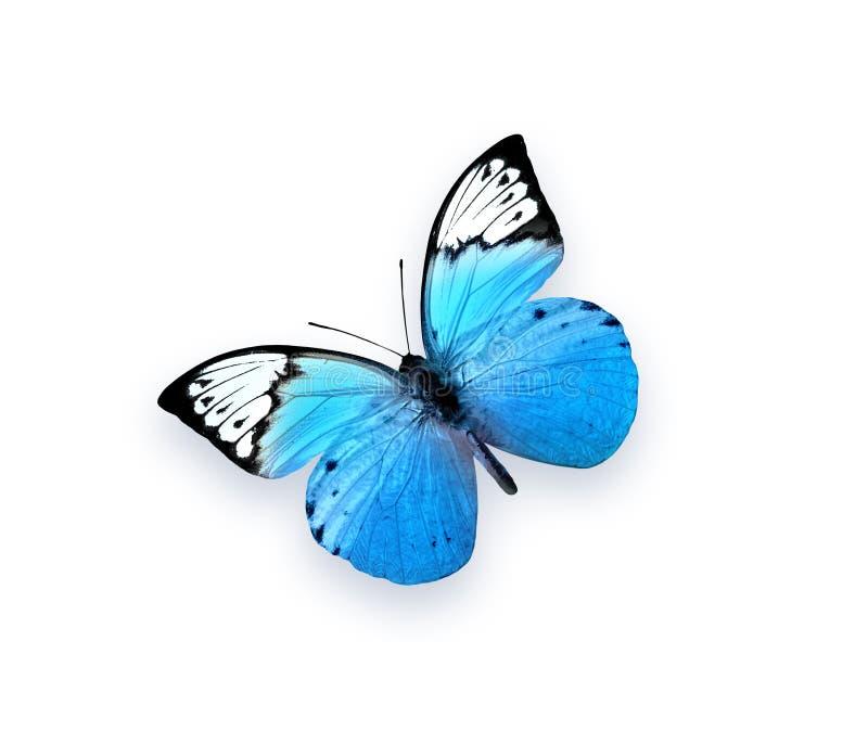 Mariposa azul aislada en el fondo blanco Insecto hermoso imagen de archivo libre de regalías