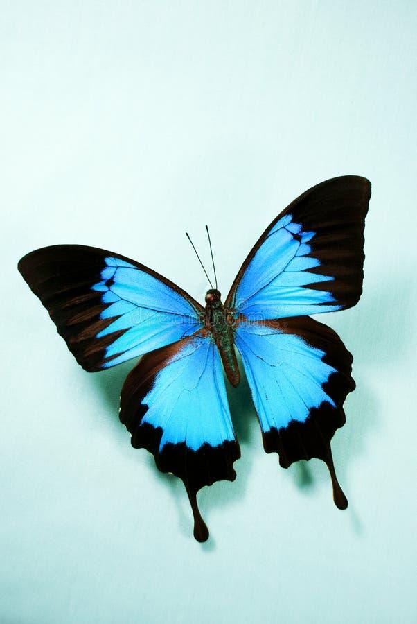 Mariposa azul brillante imágenes de archivo libres de regalías