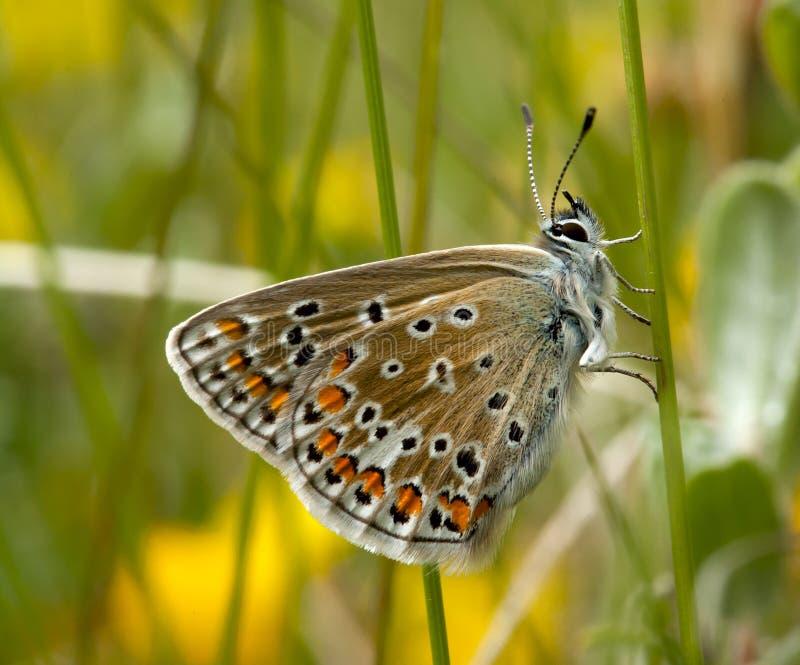 Mariposa azul común imagen de archivo