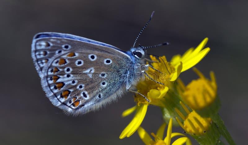 Mariposa azul común foto de archivo