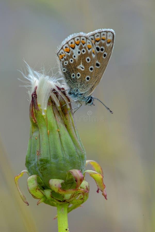 Mariposa azul común femenina en la cabeza del diente de león imagenes de archivo