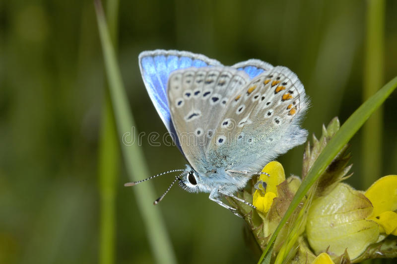 Mariposa azul común - Polyommatus Ícaro imagenes de archivo