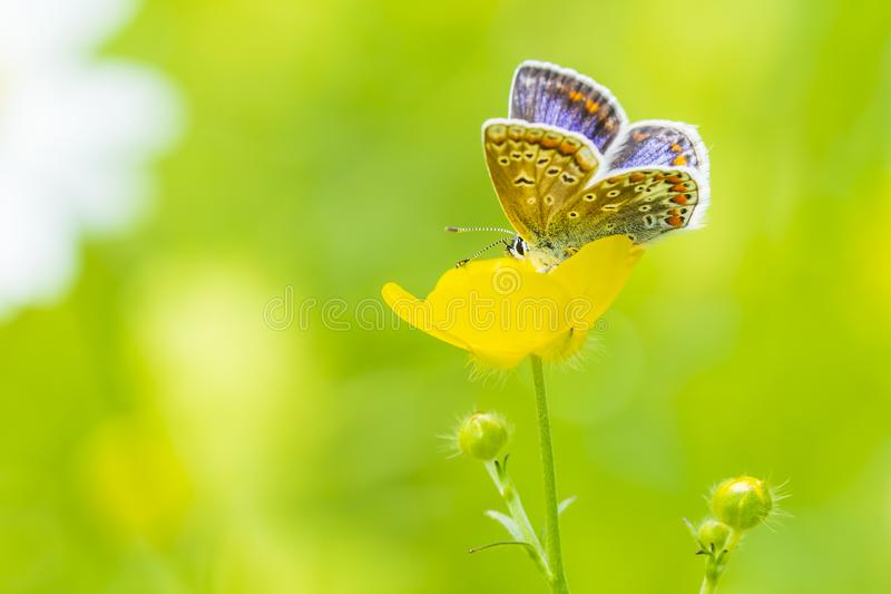 Mariposa azul com?n, Polyommatus ?caro imagenes de archivo