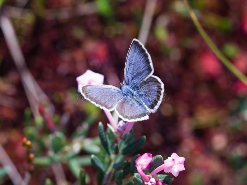 Mariposa azul de la familia del lycaenidae en macro de la flor del andromeda fotos de archivo libres de regalías