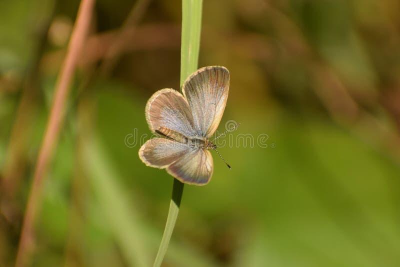 Mariposa azul de Maha del pseudozizeeria de la hierba pálida hermosa fotografía de archivo libre de regalías