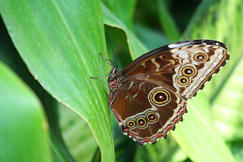 Mariposa azul de Morpho fotografía de archivo libre de regalías