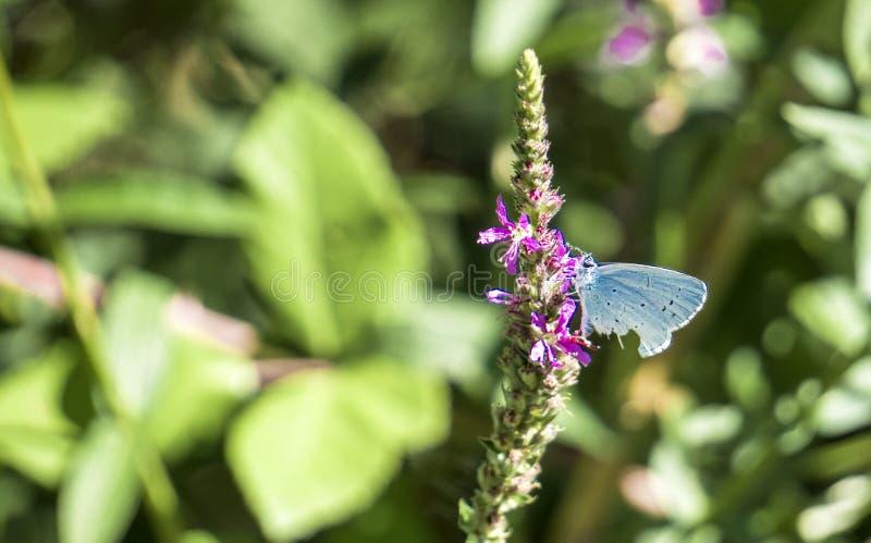 Mariposa azul del acebo en una flor imagen de archivo