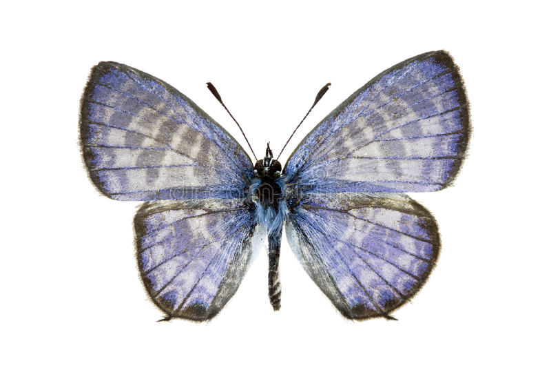 Mariposa - azul del grafito, plinius de Leptotes fotos de archivo libres de regalías