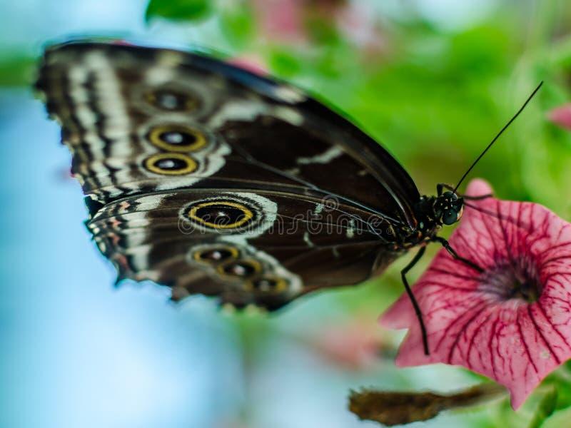 Mariposa azul del morpho de los peleides de Morpho imagen de archivo libre de regalías