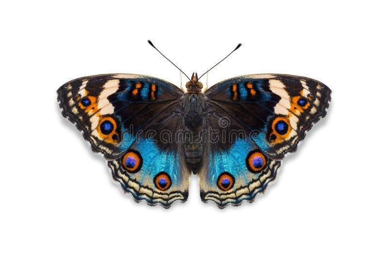 Mariposa azul del pensamiento fotos de archivo libres de regalías
