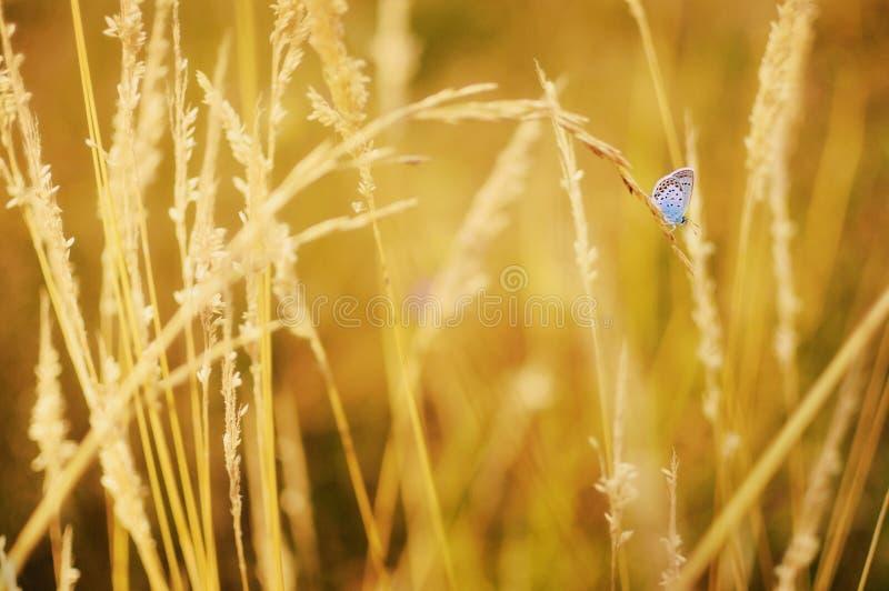 Mariposa azul del ` s de Reverdin que descansa sobre hierba seca imágenes de archivo libres de regalías