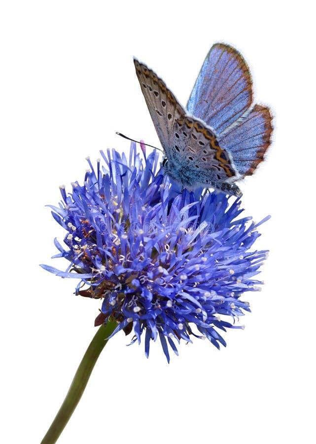 Mariposa azul en el recorte de la flor imagenes de archivo