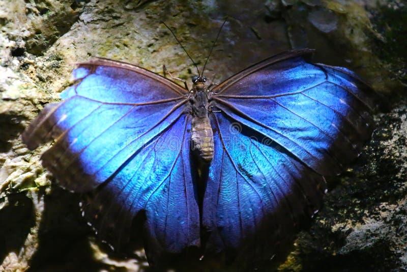 Mariposa azul en una roca foto de archivo