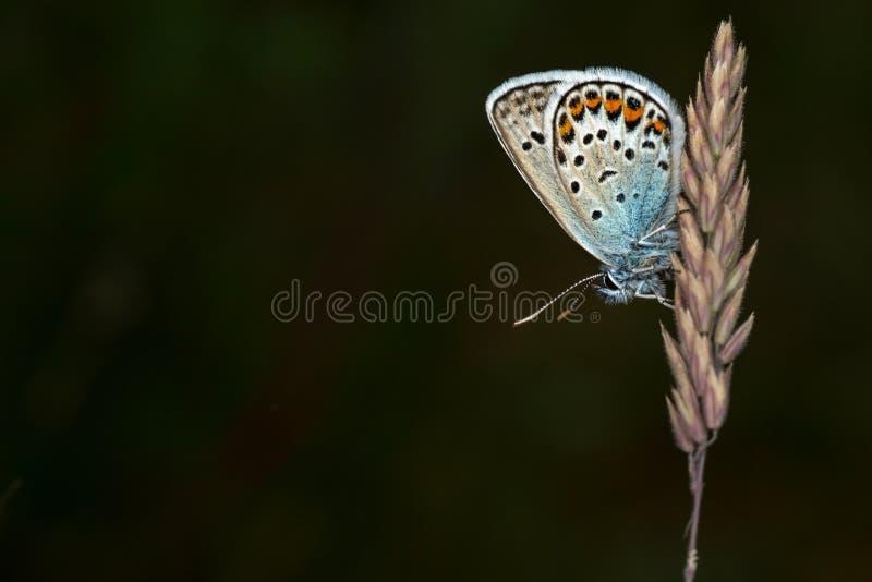 mariposa azul Plata-tachonada fotografía de archivo libre de regalías