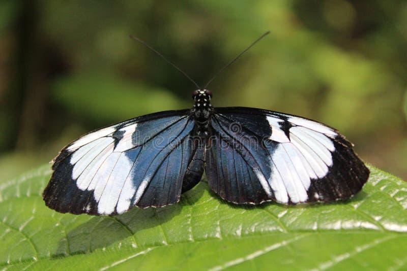 Mariposa azul y blanca en una hoja en el bosque fotos de archivo libres de regalías