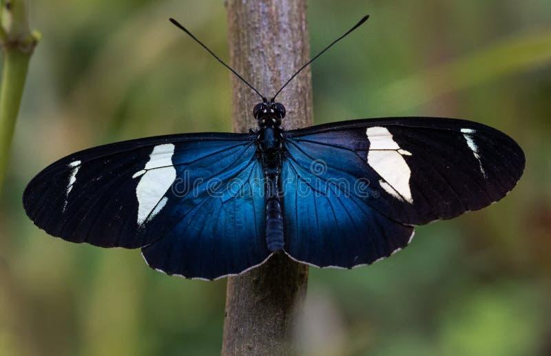 Mariposa azul y blanca hermosa imágenes de archivo libres de regalías