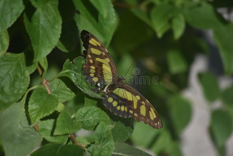 Mariposa bastante verde y negra de la malaquita en un jardín imagen de archivo