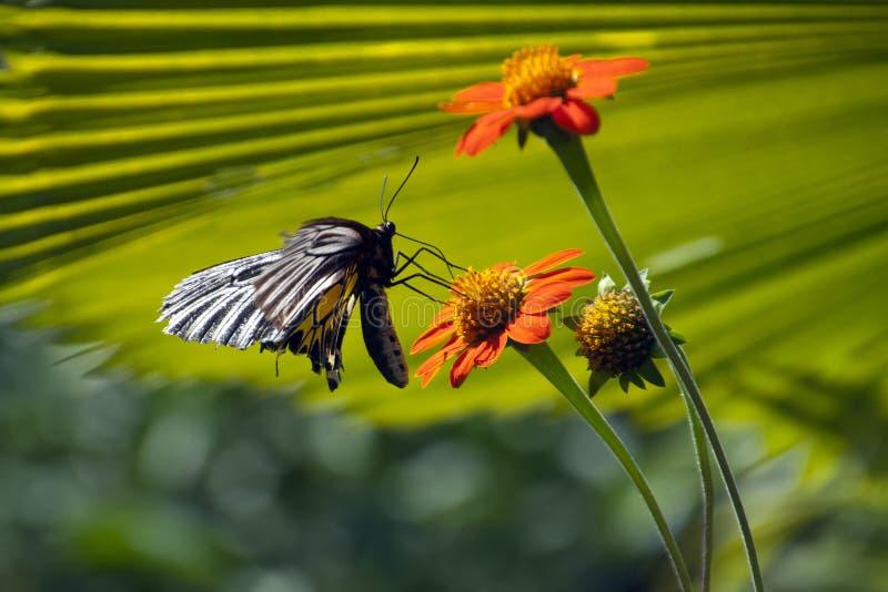 Mariposa birdwing común que asoma sobre la flor anaranjada imagen de archivo libre de regalías
