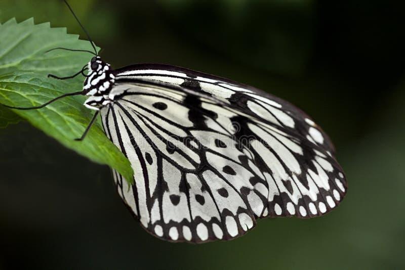 Mariposa blanca - 1721 foto de archivo libre de regalías
