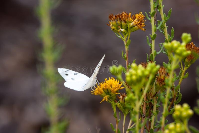 Mariposa blanca a cuadros en el parque del desierto de la costa de Laguna fotografía de archivo
