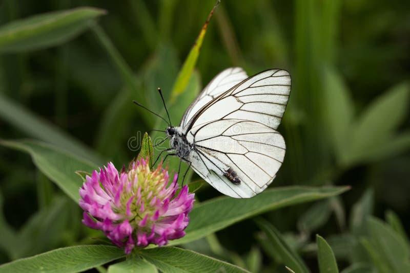 Mariposa blanca de col en una flor rosada del trébol en hierba verde imagenes de archivo