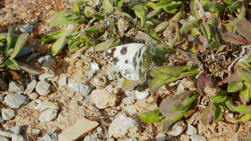 Mariposa blanca 2 de col imagenes de archivo
