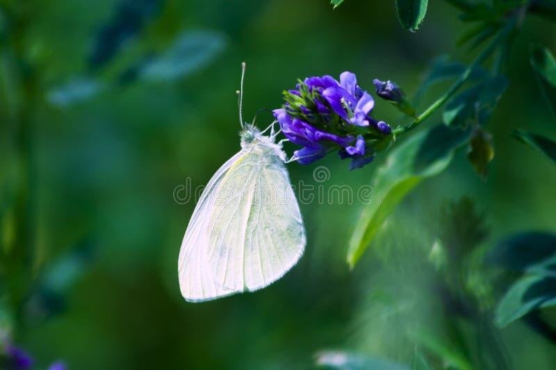 Mariposa blanca elegante fotografía de archivo