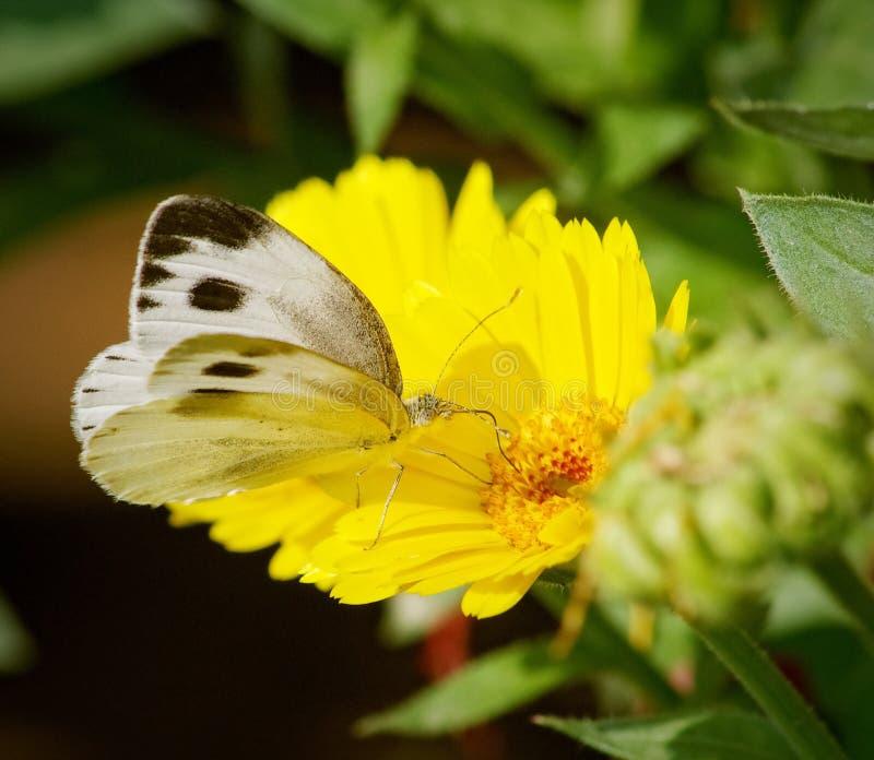 Mariposa blanca en la flor amarilla foto de archivo libre de regalías