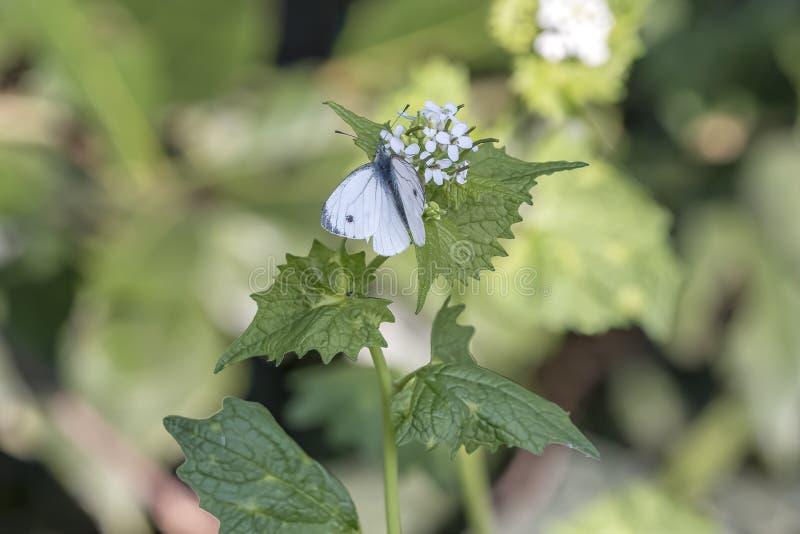 Mariposa blanca en la flor de la ortiga foto de archivo libre de regalías