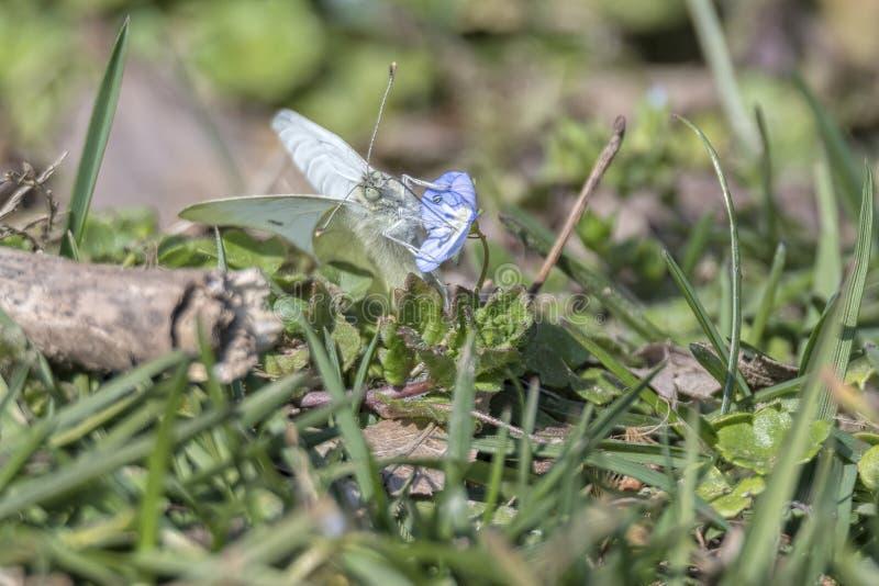 Mariposa blanca en la flor fotos de archivo libres de regalías