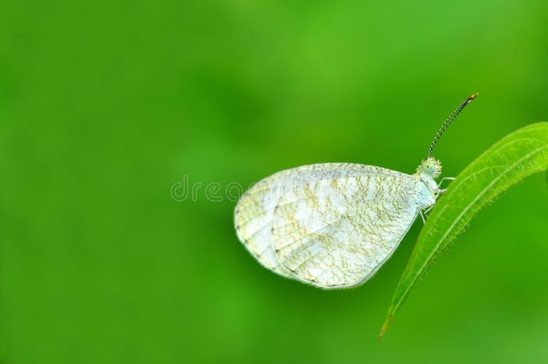 Mariposa blanca en la hoja foto de archivo