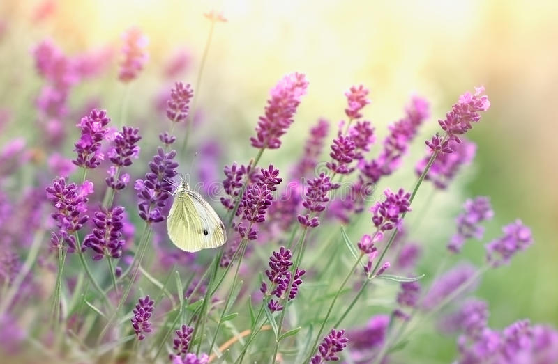 Mariposa blanca en la lavanda foto de archivo