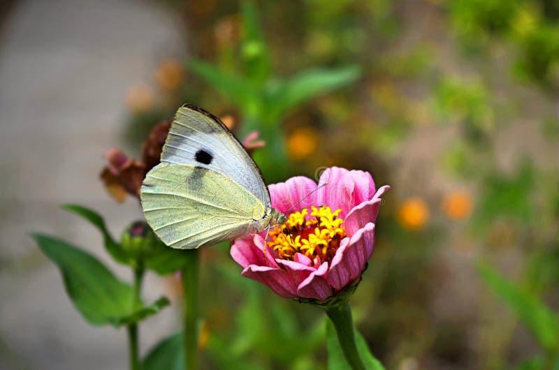 Mariposa blanca en una flor imágenes de archivo libres de regalías