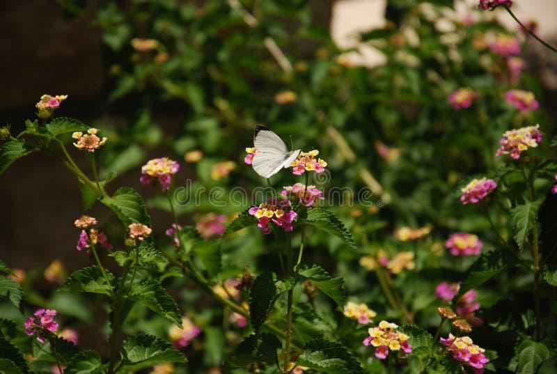 Mariposa blanca en una flor rosada del Lantana imagen de archivo