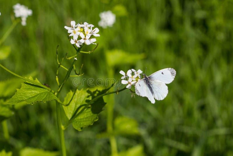 Mariposa blanca en una pequeña flor blanca foto de archivo