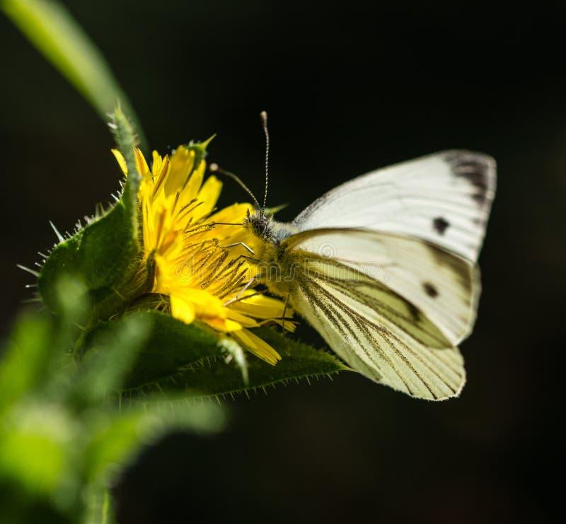Download Mariposa Blanca Grande En La Flor Salvaje Amarilla Foto de archivo - Imagen de eurasiático, thistle: 100535330