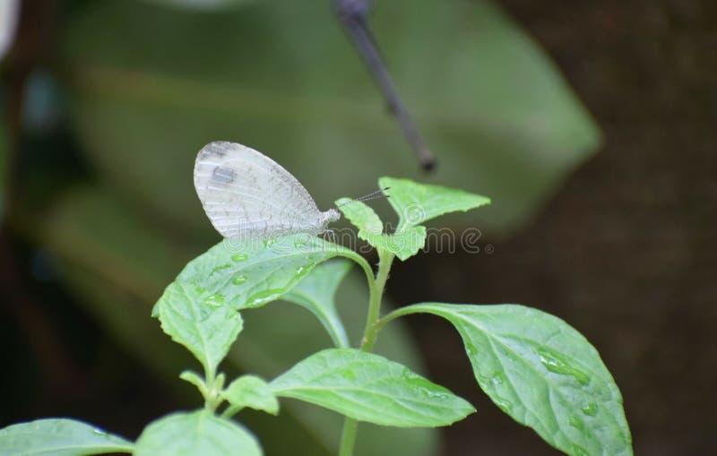 Mariposa blanca imagen de archivo libre de regalías