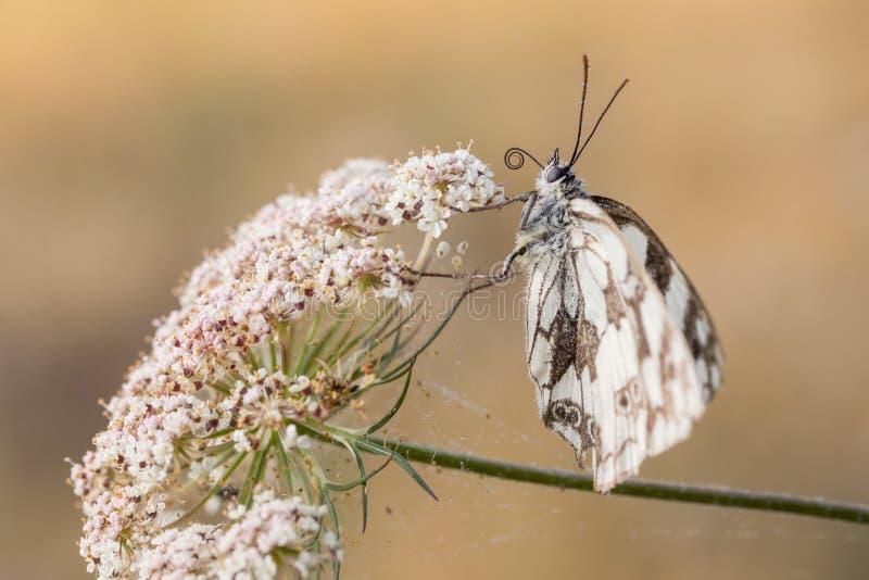 Mariposa blanca veteada, galathea de Melanargia fotos de archivo libres de regalías
