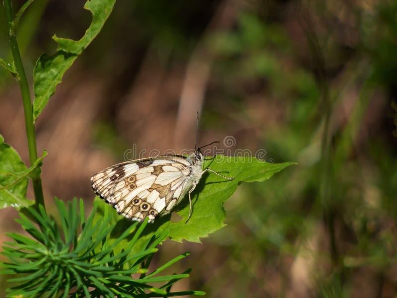 Mariposa blanca veteada que toma el sol en sol en la hoja Galathea de Melanargia fotografía de archivo