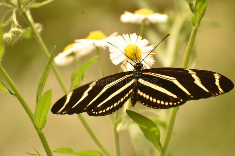 Mariposa blanco y negro hermosa de la cebra en una hoja imagenes de archivo