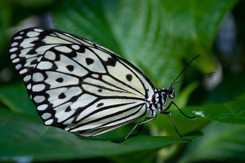 Mariposa blanco y negro que consigue lista para el vuelo imagenes de archivo