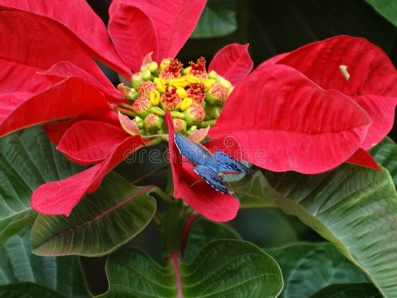 ?Mariposa Brillante-azul hermosa y rara de Lasaia que se encarama en una poinsetia! fotografía de archivo