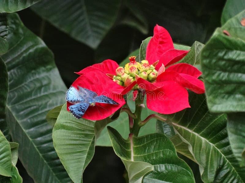 ?Mariposa Brillante-azul hermosa y rara de Lasaia que se encarama en una poinsetia! imágenes de archivo libres de regalías