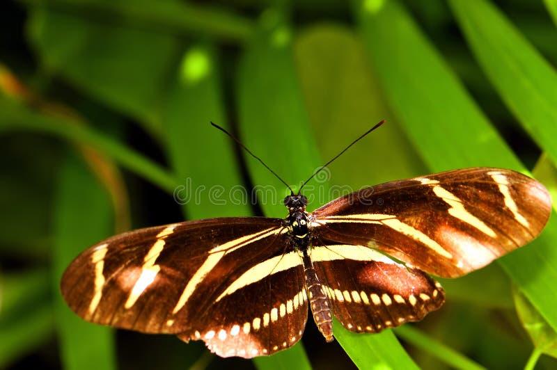 Mariposa, cebra Heliconian en la pajarera, la Florida fotografía de archivo libre de regalías