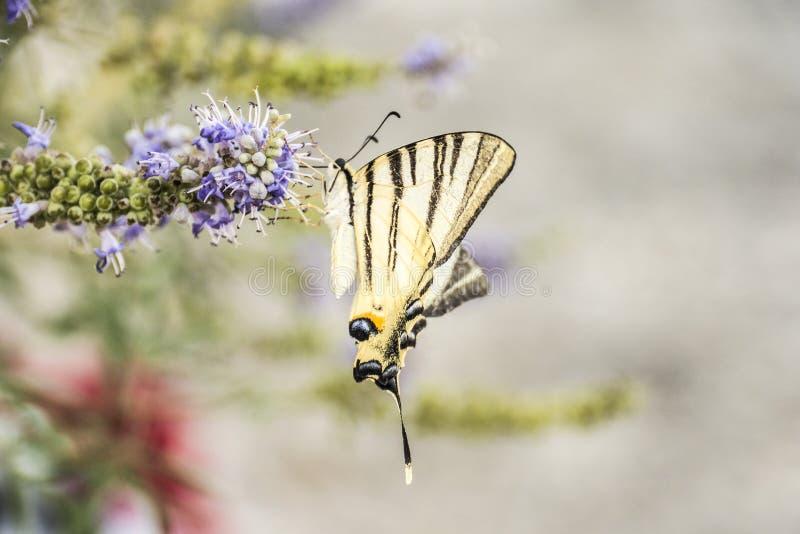 Mariposa cercana para arriba en la flor fotografía de archivo
